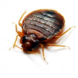 bed bug befor feeding 300x300 See Pictures of Bed Bugs, They Could Already Be Sleeping Next To You