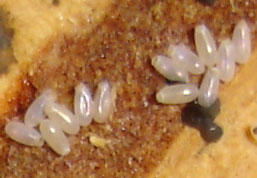 bed bug eggs See Pictures of Bed Bugs, They Could Already Be Sleeping Next To You