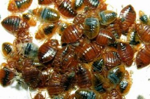 bed bug infestation 300x198 See Pictures of Bed Bugs, They Could Already Be Sleeping Next To You