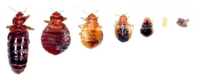 bed bugs life stages See Pictures of Bed Bugs, They Could Already Be Sleeping Next To You