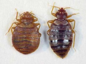 bed bugs1 300x224 See Pictures of Bed Bugs, They Could Already Be Sleeping Next To You