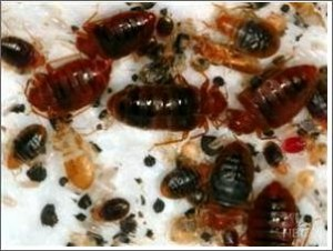 bed bug infestation 300x226 How to Get Rid of Bed Bugs   Guide to Determine the Most Affordable and Chemical Free Bed Bug Treatment