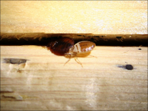bed bugs in cracks 300x225 Bed Bug Extermination Reminders – Ten Things You Need to Remember for a Successful Bed Bug Treatment