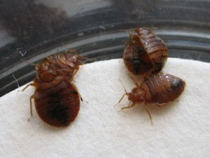 bedbugs4 300x226 Bed Bugs – Could You Really Beat Them With Kidney Bean Leaves?