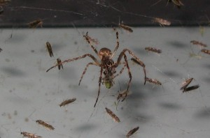 spider eating 300x198 How to Kill Spiders – Guide to Keep Them Off Your House
