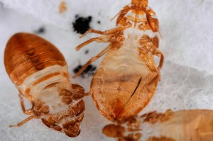 bed bug skin 300x199 Persisting Bed Bugs and Evading Landlord Push Tenant to Move Out   (How to Get Rid of Bed Bugs Inexpensively On Your Own?)