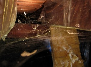 spider in basement 300x221 how to get rid of spiders in three easy